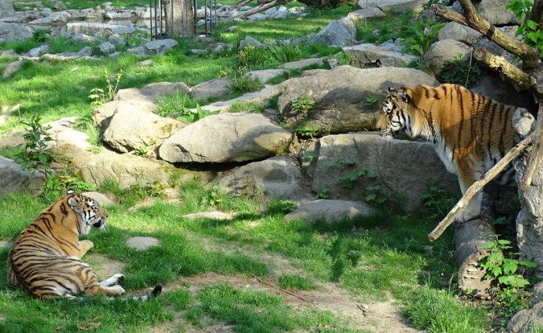 Tiger Tierpark Straubing